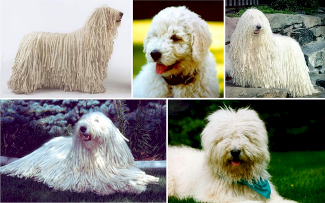 Welcome to the Komondor Club of America's website!